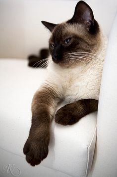 """Like a graceful vase, a cat, even when motionless, seems to flow."" --George F Will #Siamese cat"