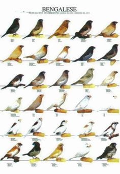 Bengalese/Society Finches
