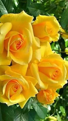 good morning with yellow roses Beautiful Flowers Images, Beautiful Flowers Wallpapers, Rare Flowers, Flower Images, Flower Pictures, Exotic Flowers, Amazing Flowers, Beautiful Roses, Pretty Flowers