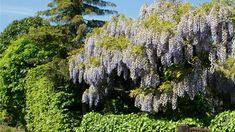 Na brněnské zahradě rodiny Jurůjových se vistárie zabydlela na pergole, která...