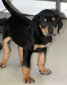This is Pogo. He is a 2 month old Coonhound mix and is available for adoption at Second Chance Animal Center in Bennington, VT.