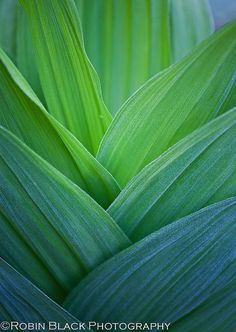Abstract art of leaf layers. Dangerous Beauty (Veratrum album, False Hellebore) by Robin Black Photography, via Flickr