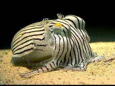 Meet the cuttlefish, one of the brainiest, most bizarre animals in the ocean. Cuttlefish are marine animals of the order Sepiida. Underwater Creatures, Underwater Life, Ocean Creatures, Underwater Pictures, Life Under The Sea, Amor Animal, Cuttlefish, Sea World, Striped Pyjamas