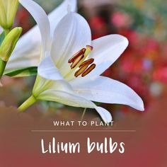 BUY ME! BUY ME! BUY ME! Lilium bulbs are for sale now and should be planted immediately after you have purchased them. Find your nearest GCA for this extra addition to your garden: LINK PROVIDED Life Isa, Garden Plants, Bulbs, Garden Design, Gardening, Link, Lightbulbs, Garten, Backyard Landscape Design