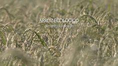 """Angatu também reunirá material produzido sobre a cultura agroecológica. Esse documentário reúne alguns dos nossos produtores de arroz ecológico no Rio Grande do Sul, muitos deles meus """"amigos"""" de F..."""