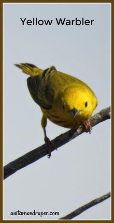 Yellow Warbler, RM Montmartre, SK, June 2019. Source: Anita Mae Draper Bats, Wildlife, June, Yellow, Photos, Animals, Image, Pictures, Animales