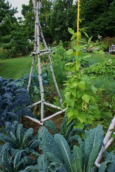 Garden trellis made from branches from a tree that needed trimming.
