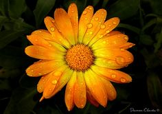 MacroPhotography.com - Rainy Day Daisy - Flower Collection by Damon Clarke. Fine Art Macro Photography Prints and Interiors.