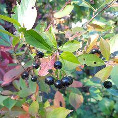 Hekkplanter for enhver smak, her er mine forslag. Fruit, Gardening, Lawn And Garden, Horticulture