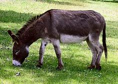 Donkey, Equus africanus.  Scrotifera is a proposed clade of mammals within Laurasiatheria, consisting of the following six orders and their common ancestors: Artiodactyla, Even-toed ungulate, https://en.wikipedia.org/wiki/Even-toed_ungulate Carnivora, https://en.wikipedia.org/wiki/Carnivora Cetacea, https://en.wikipedia.org/wiki/Cetacea Chiroptera, Bat https://en.wikipedia.org/wiki/Bat Perissodactyla, Odd-toed ungulate, https://en.wikipedia.org/wiki/Odd-toed_ungulate Pholidota, Pangolin…