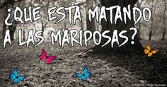 Debido a que muchos agricultores optaron por plantar soya y maíz transgénico, las mariposas monarca están en peligro. http://articulos.mercola.com/sitios/articulos/archivo/2014/03/31/mariposas-monarca.aspx