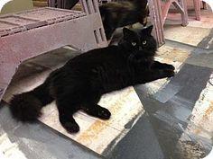 Nashville, TN - Domestic Mediumhair. Meet Bart, a cat for adoption…