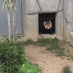 http://www.tastefullyoffensive.com/2017/04/red-panda-tries-to-pick-fight-with-rock.html