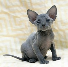 23 Ideas for cats sphynx kitten Animals And Pets, Baby Animals, Cute Animals, Pretty Cats, Beautiful Cats, Cute Kittens, Cats And Kittens, Cats Bus, Siamese Cats