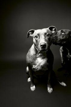 innocent. #dog #adopt #animals #photography #pitbull #black and white #dogs