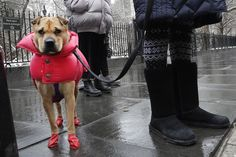 A dog is dressed for the weather with a puffy coat and rubber boots while walking on a cold, wet morning in New York, on January 30, 2018.
