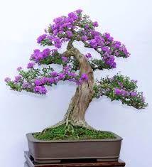 Image result for jacaranda bonsai