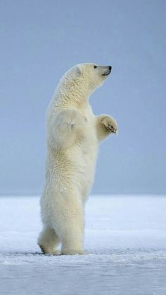 Best Polar Bear Photos You Never Seen Before - Animals Comparison Bear Photos, Bear Pictures, Funny Animal Pictures, Cute Baby Animals, Animals And Pets, Funny Animals, Wild Animals, We Bear, Daddy Bear