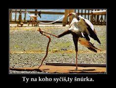 Kung Foo Secretary Bird (Sagittarius serpentarius) showing a cobra who's boss) Fat Bird, Ninja Cats, Flightless Bird, Kung Fu Panda, Animal Totems, All Gods Creatures, Birds Of Prey, My Animal, Videos Funny
