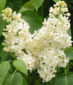 Syringa vulgaris Â'PrimroseÂ' - Liliac - Plante foioase -