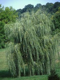 Enhance Your Flower Garden with a Dwarf Weeping Willow