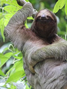 The three-toed sloth is one of the two species of sloths that live in the forests in Costa Rica. This photo taken in Tortuguero National Park.