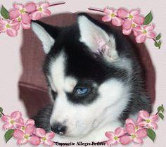 Beautiful Eyes - *SIBERIAN HUSKY* Puppies-August Pictures Fur the Love of Allegro Huskies