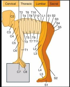 Learn all about cervical, thoracic, lumbar, and sacral anatomy!You can find Anatomy and more on our we. Muscle Anatomy, Body Anatomy, Nursing Notes, Nursing Tips, Ob Nursing, Funny Nursing, Medical Anatomy, Human Anatomy And Physiology, Medical Information