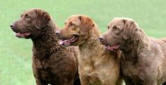Chesapeake Bay Retriever An American Breed, the Chessie wascreated when two Newfoundland puppies were rescued off the coast of Maryland. The two pups grew up to be amazing retrievers, and were bred with nondescript retriever-type dogs including the English OtterHound, Flat-Coat, and Curly-Coated Retrievers. http://www.akc.org/breeds/chesapeake_bay_retriever/history.cfm
