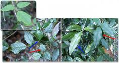 A new species of vine that can mimic the leaves of many different host trees has been discovered in Chile. It can change the size, shape, color, orientation, and even the vein patterns of its leaves to match the surrounding foliage. It is the first and only known plant that can do this.