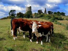 Castle Cattle, photography, Neil A. Brown, 2012, Leigh-on-Sea Es United Kingdom  Cows by Hadleigh Castle being most cooperative in arranging themselves for the photograph.    Printed on heavyweight glossy paper using Canon fade resistant inks and sized to 75% of A4 then titled and signed in the border.