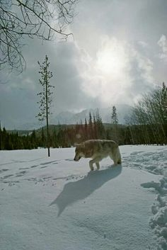 Wolf in the snow                                                                                                                                                     Mais