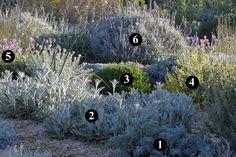 1 : Glaucium flavum 2 : Stachys byzantina 3 : Lavandula angustifolia 'Folgate' 4 : Anthyllis cytisoides 5 : Centaurea bella 6 : Lavandula dentata 'Cap Rihr'