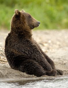 bears sitting on their butts; somewhere among the top 20 greatest things ever