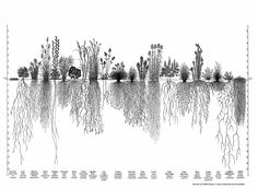 One of the wonders of big bluestem grass is its nine-foot-long roots helping to keep soil in place and store carbon in a time of climate change. Grass Drawing, Garden Drawing, Roots Tattoo, Prairie Planting, Chill, Section Drawing, Crafts For Kids To Make, Gnome Garden, Permaculture