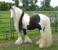 Gypsy Vanner Horses are one of the most beautiful horse breeds in the world. At gypsy MVP you will find only the finest quality of this breed. Animals And Pets, Cute Animals, Farm Animals, Horse Watch, Horse Mane, Gypsy Horse, Most Beautiful Horses, Beautiful Beautiful, Beautiful Stories