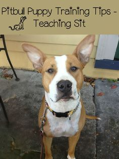 Follow these Pitbull puppy training tips to quickly and easily teach your pit to sit. Teaching your Pitbull puppy to seat is much easier than you think!