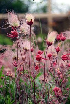 Geum triflorum - Prairie Smoke #weddingflowers