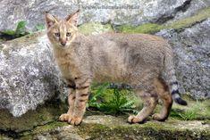 El gato de la jungla, de los pantanos o chaus es una especie de mamífero carnívoro de la familia Felidae característico de las tierras bajas y húmedas del sur de Asia, desde el Mediterráneo oriental a Indochina y Malaca.