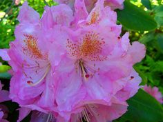 Chuck Richards' garden on Great Wass-Rhododendron
