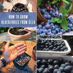 Blueberry Plant : How To Grow Blueberries From Seed Growing Blueberries, Organic Blueberries, How To Plant Blueberries, Blueberry Plant, Blueberry Bushes, Fruit Garden, Edible Garden, Garden Plants, Regrow Vegetables