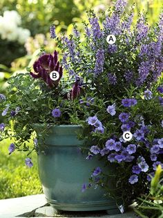 Recipes for Container Gardens -- Pick just one or two. Here, blues and purples are accentuated by the deep turquoise container (A)Angelonia 'Angelface Dresden Blue' , (B)Celosia 'Purple Flamingo' - (C)Calibrachoa 'Superbells Blue'