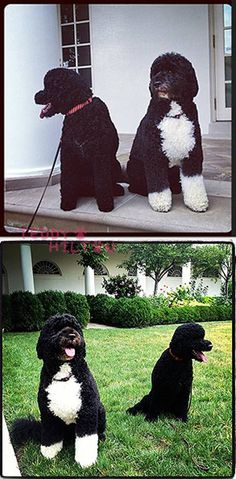 Get all your Bo Obama news and gossip here! Bo Obama, El Pres, Barak And Michelle Obama, Presidente Obama, Black Royalty, First Black President, Portuguese Water Dog, Cutest Dog Ever, Adorable Dogs