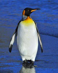 An adult King Penguin scans the beach after coming out of the water - South Georgia.