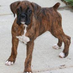 Dark Brown Boxer Puppies UK Strong Puppies Animals