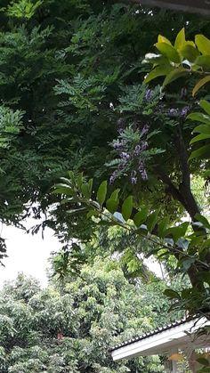 กระพี้จั่น ใบ ดอก สวย Planting, Scenery, Trees, Garden, Flowers, Plants, Garten, Landscape, Tree Structure