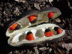 Afzeliha Quanzensis       lucky beans     Pod Mahogany/Lucky Bean          Peulmahonie        . 12-15 m  (30)       S A no 207         G Nicholasand