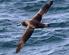 Black-footed Albatross (Phoebastria nigripes) | Flickr - Photo Sharing!