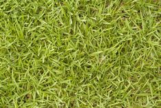 Gyep helyett… Types Of Grass, Grass Type, Grass Species, Bermuda Grass, Lawn Equipment, Clay Soil, Backyard Farming, What Type, Gardening Tips