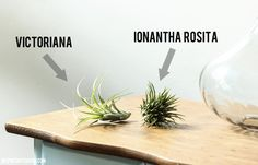 Day 6: Air Plants